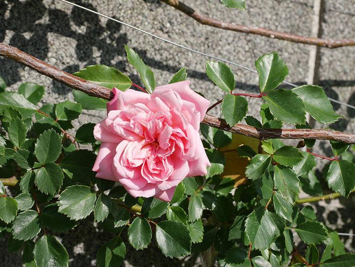 フランソワ・ジュランヴィル(Francois Juranville)の花が増えてきた。ツルバラ。2021年-009.jpg