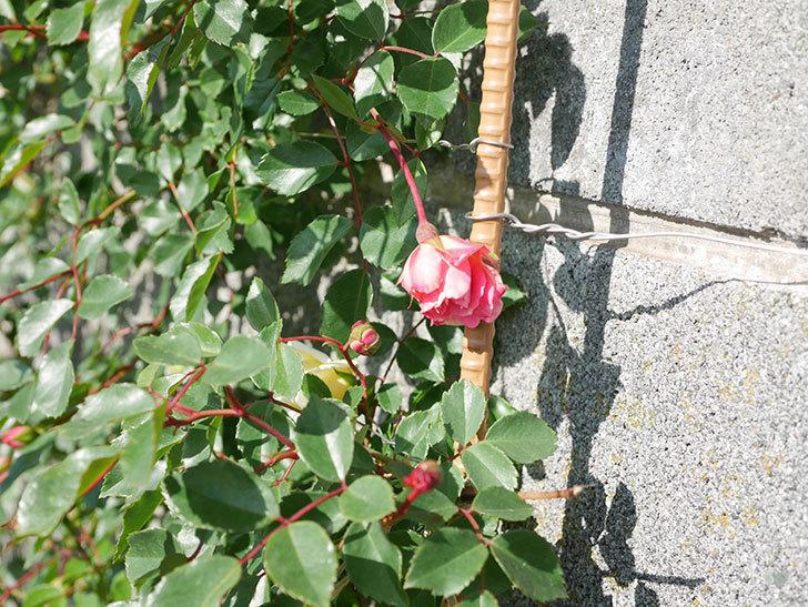 フランソワ・ジュランヴィル(Francois Juranville)の花が増えてきた。ツルバラ。2021年-010.jpg