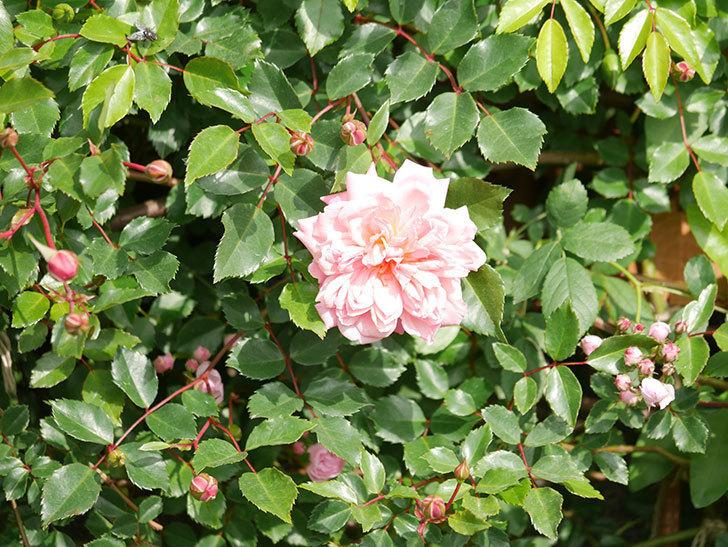 フランソワ・ジュランヴィル(Francois Juranville)の花が増えてきた。ツルバラ。2021年-011.jpg
