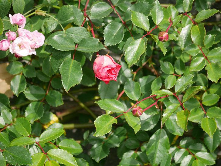 フランソワ・ジュランヴィル(Francois Juranville)の花が増えてきた。ツルバラ。2021年-012.jpg