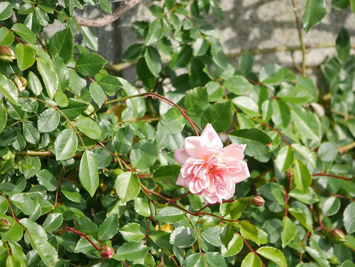 フランソワ・ジュランヴィル(Francois Juranville)の花が増えてきた。ツルバラ。2021年-013.jpg