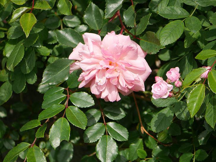 フランソワ・ジュランヴィル(Francois Juranville)の花が増えてきた。ツルバラ。2021年-014.jpg