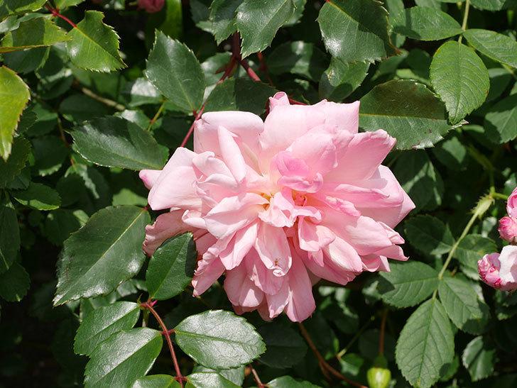 フランソワ・ジュランヴィル(Francois Juranville)の花が増えてきた。ツルバラ。2021年-017.jpg
