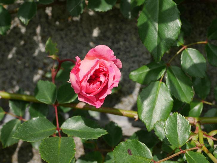 フランソワ・ジュランヴィル(Francois Juranville)の花が増えてきた。ツルバラ。2021年-021.jpg