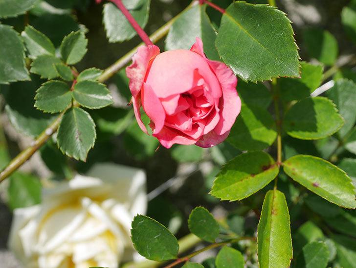 フランソワ・ジュランヴィル(Francois Juranville)の花が増えてきた。ツルバラ。2021年-022.jpg