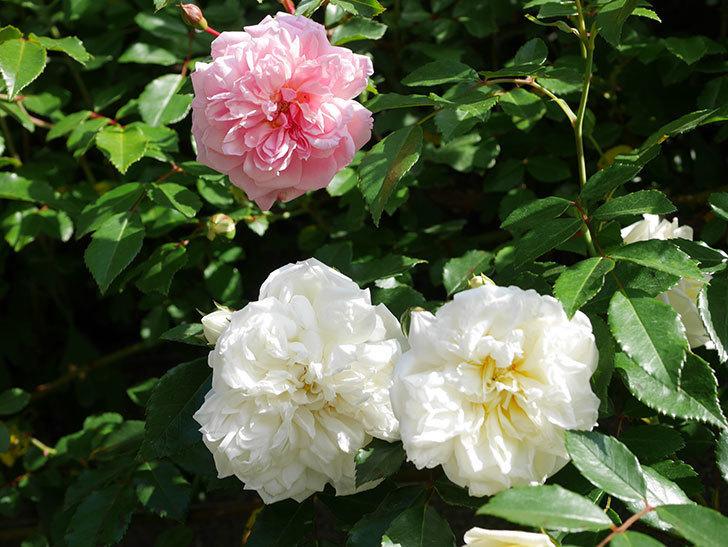 フランソワ・ジュランヴィル(Francois Juranville)の花が増えてきた。ツルバラ。2021年-025.jpg
