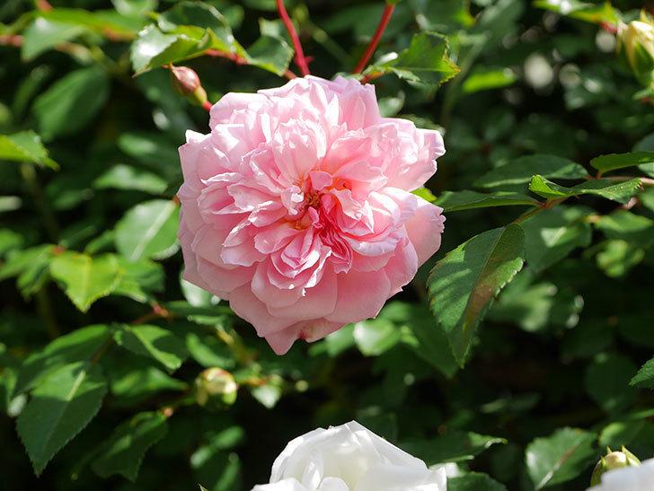 フランソワ・ジュランヴィル(Francois Juranville)の花が増えてきた。ツルバラ。2021年-026.jpg