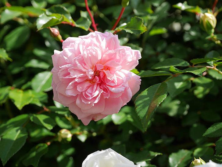 フランソワ・ジュランヴィル(Francois Juranville)の花が増えてきた。ツルバラ。2021年-027.jpg