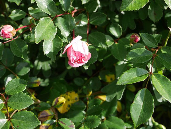 フランソワ・ジュランヴィル(Francois Juranville)の花が増えてきた。ツルバラ。2021年-028.jpg