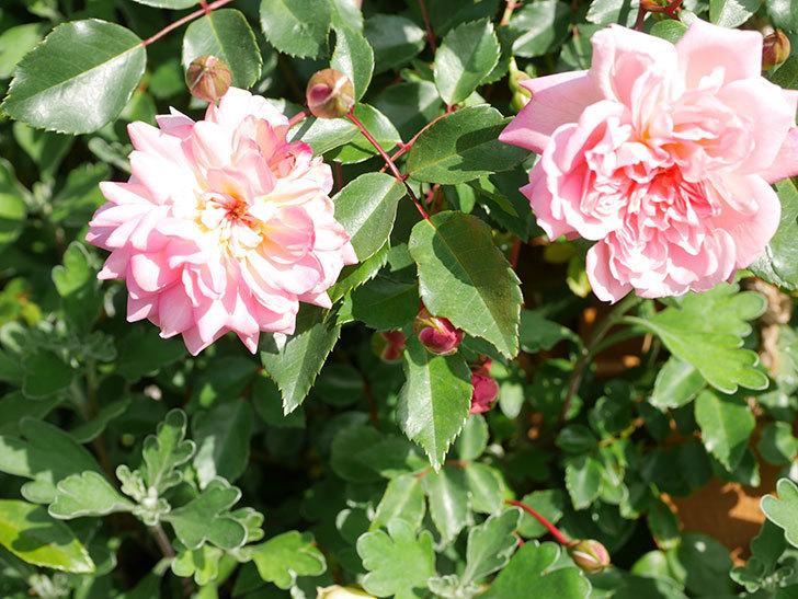 フランソワ・ジュランヴィル(Francois Juranville)の花が増えてきた。ツルバラ。2021年-029.jpg