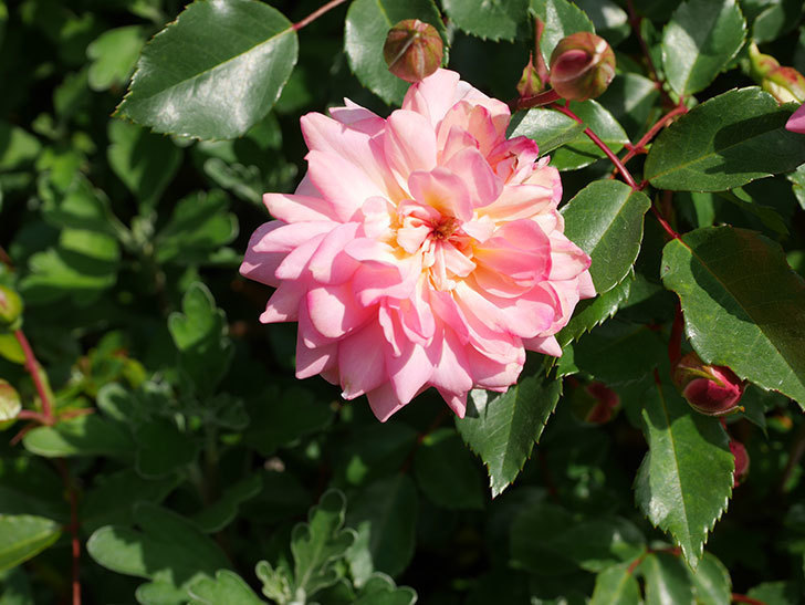 フランソワ・ジュランヴィル(Francois Juranville)の花が増えてきた。ツルバラ。2021年-030.jpg