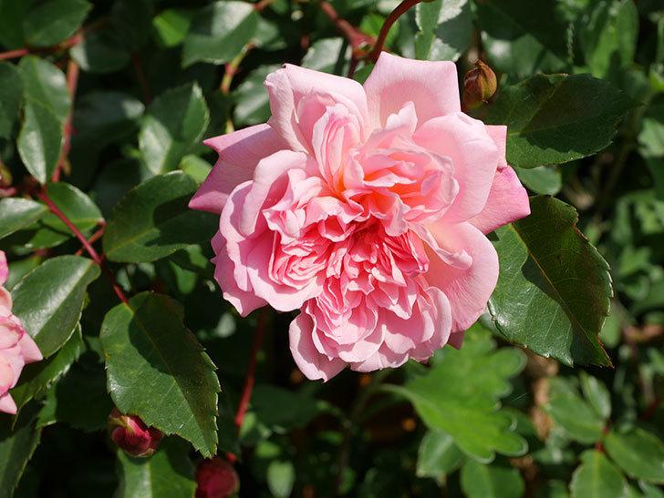 フランソワ・ジュランヴィル(Francois Juranville)の花が増えてきた。ツルバラ。2021年-031.jpg