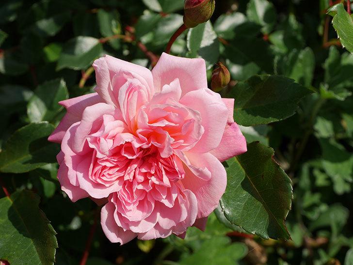 フランソワ・ジュランヴィル(Francois Juranville)の花が増えてきた。ツルバラ。2021年-032.jpg