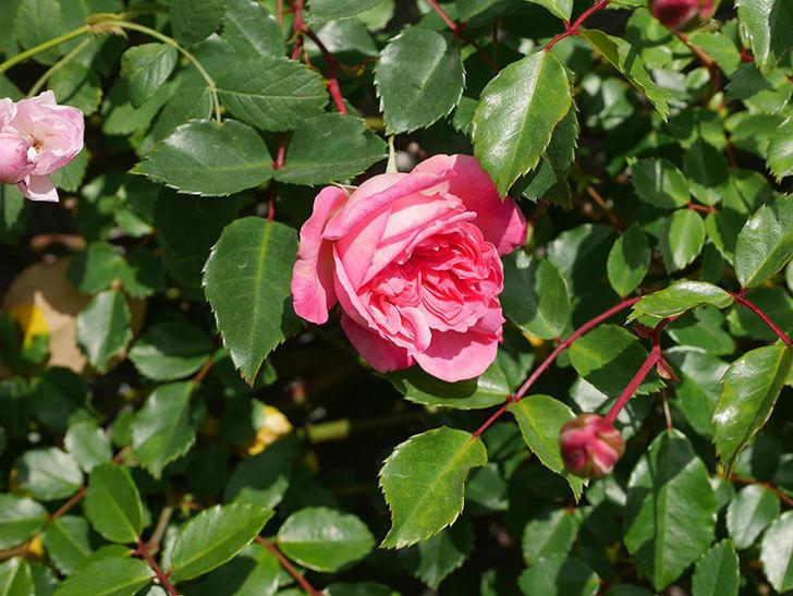 フランソワ・ジュランヴィル(Francois Juranville)の花が増えてきた。ツルバラ。2021年-033.jpg