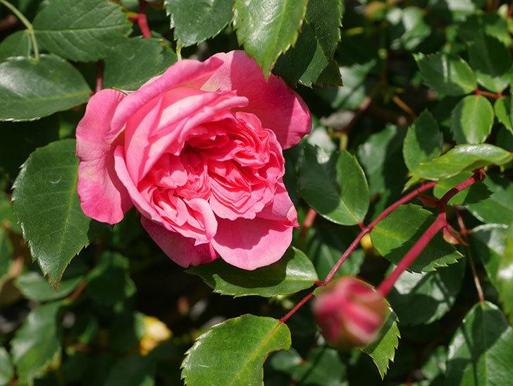フランソワ・ジュランヴィル(Francois Juranville)の花が増えてきた。ツルバラ。2021年-035.jpg