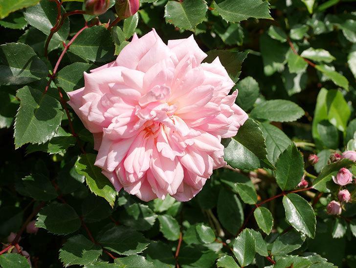フランソワ・ジュランヴィル(Francois Juranville)の花が増えてきた。ツルバラ。2021年-036.jpg