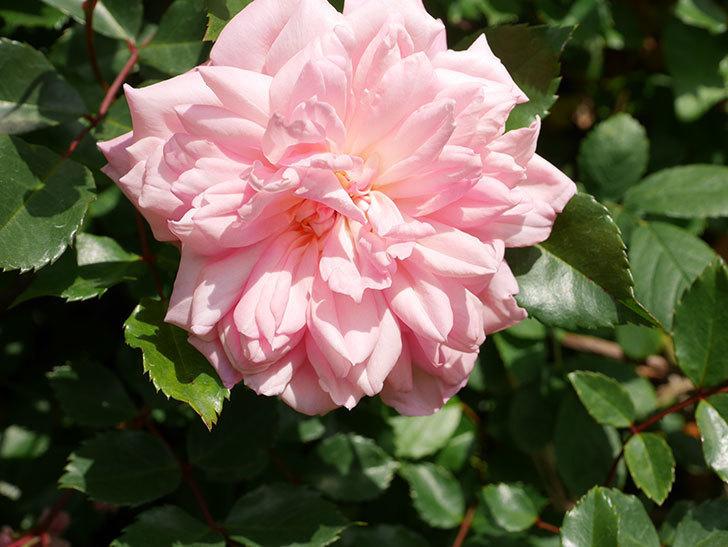 フランソワ・ジュランヴィル(Francois Juranville)の花が増えてきた。ツルバラ。2021年-037.jpg