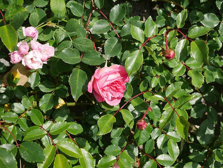 フランソワ・ジュランヴィル(Francois Juranville)の花が増えてきた。ツルバラ。2021年-038.jpg