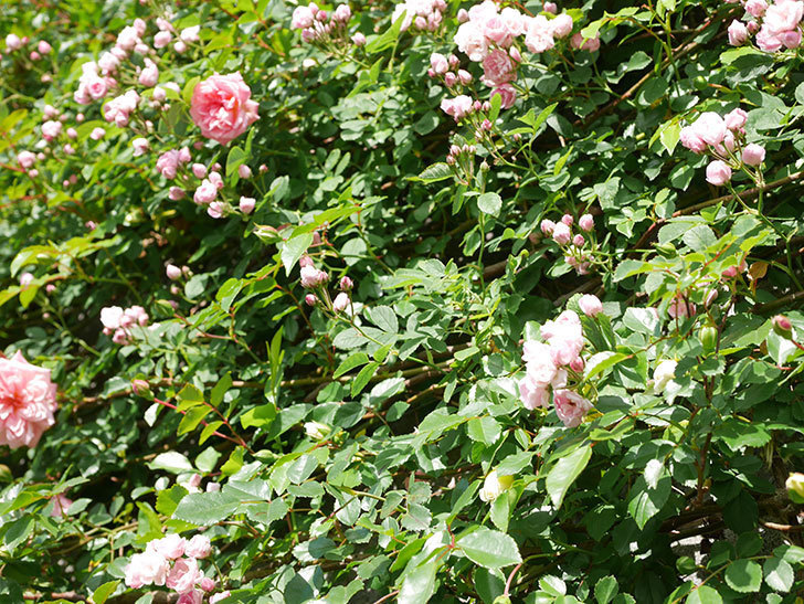 フランソワ・ジュランヴィル(Francois Juranville)の花が増えてきた。ツルバラ。2021年-039.jpg