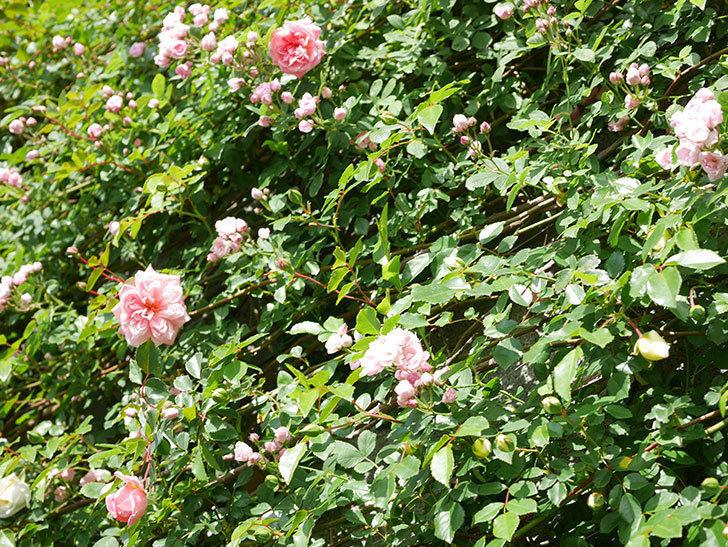 フランソワ・ジュランヴィル(Francois Juranville)の花が増えてきた。ツルバラ。2021年-041.jpg