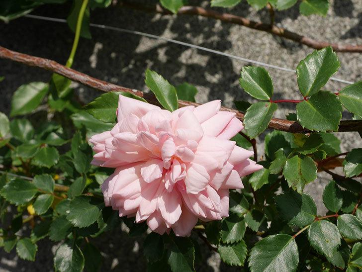 フランソワ・ジュランヴィル(Francois Juranville)の花が増えてきた。ツルバラ。2021年-044.jpg
