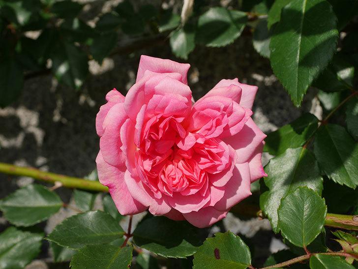 フランソワ・ジュランヴィル(Francois Juranville)の花が増えてきた。ツルバラ。2021年-045.jpg