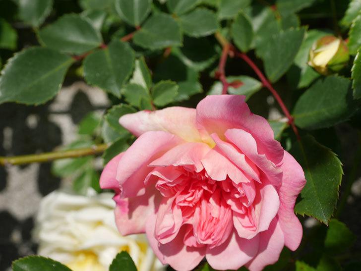 フランソワ・ジュランヴィル(Francois Juranville)の花が増えてきた。ツルバラ。2021年-046.jpg