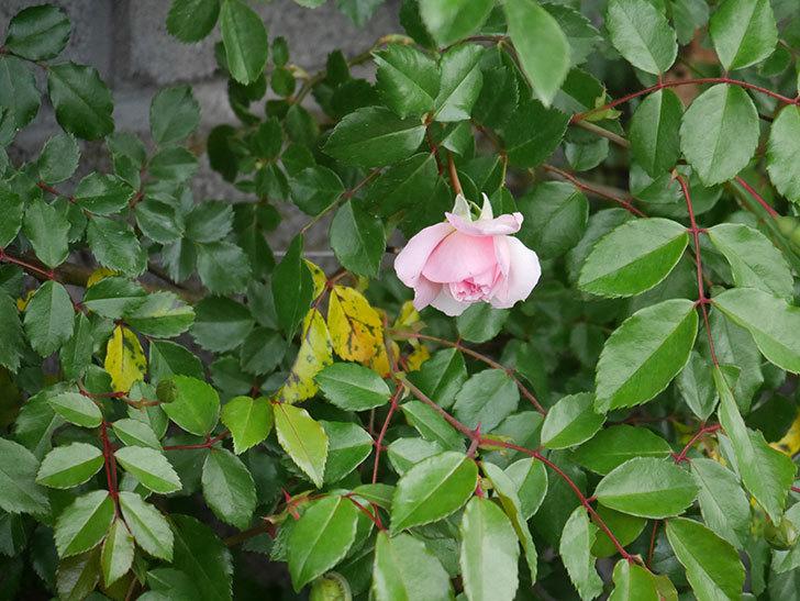 フランソワ・ジュランヴィル(Francois Juranville)の花が少し咲いた。ツルバラ。2021年-001.jpg
