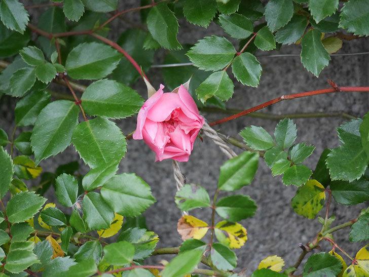 フランソワ・ジュランヴィル(Francois Juranville)の花が少し咲いた。ツルバラ。2021年-006.jpg