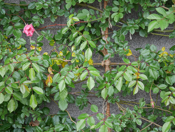 フランソワ・ジュランヴィル(Francois Juranville)の花が少し咲いた。ツルバラ。2021年-007.jpg