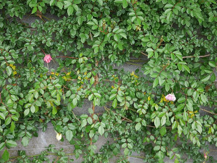 フランソワ・ジュランヴィル(Francois Juranville)の花が少し咲いた。ツルバラ。2021年-008.jpg