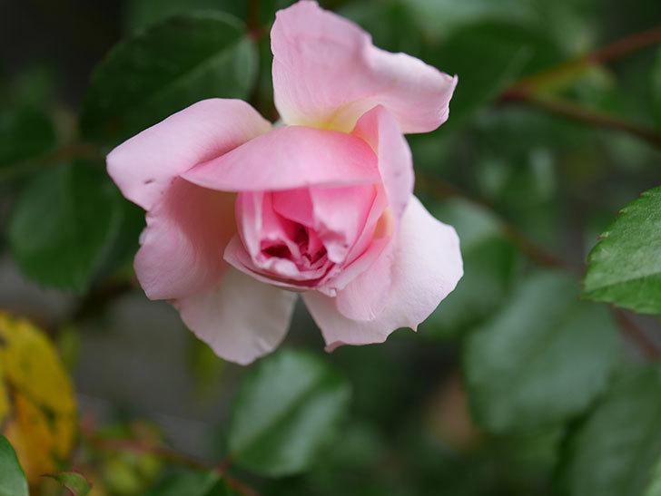 フランソワ・ジュランヴィル(Francois Juranville)の花が少し咲いた。ツルバラ。2021年-011.jpg