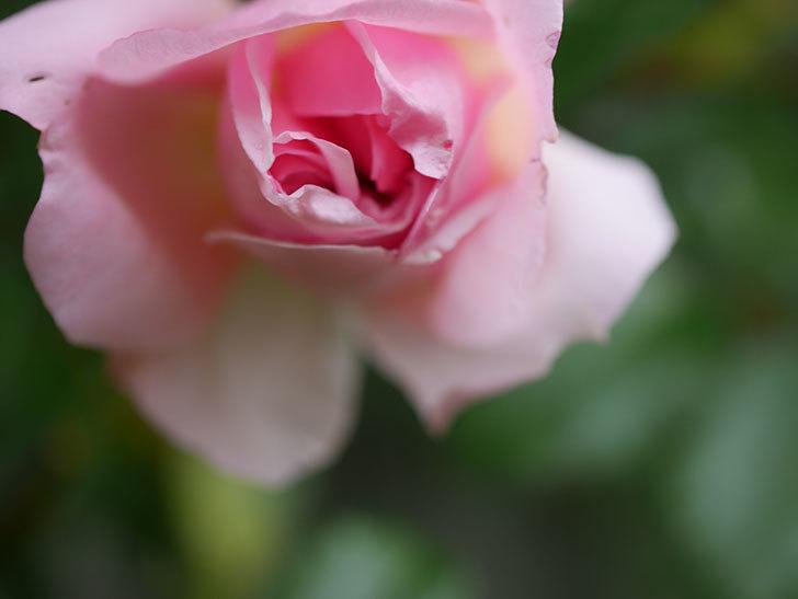 フランソワ・ジュランヴィル(Francois Juranville)の花が少し咲いた。ツルバラ。2021年-012.jpg