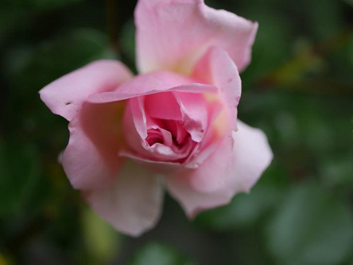 フランソワ・ジュランヴィル(Francois Juranville)の花が少し咲いた。ツルバラ。2021年-014.jpg
