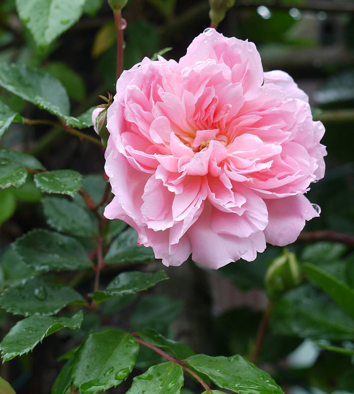 フランソワ・ジュランヴィル(ツルバラ)が咲いた。2017年-1.jpg