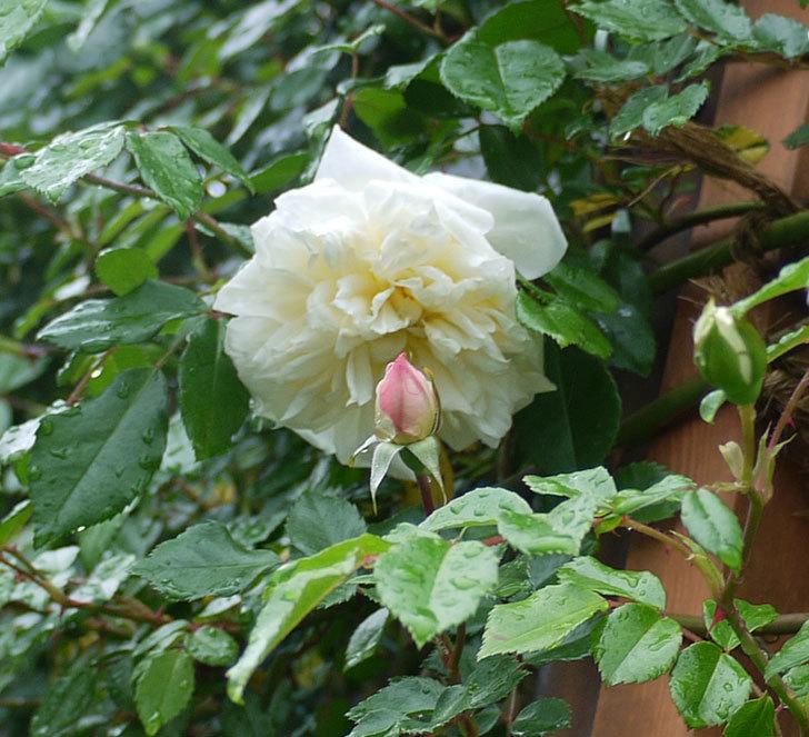 フランソワ・ジュランヴィル(ツルバラ)が咲いた。2017年-10.jpg