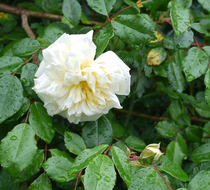 フランソワ・ジュランヴィル(ツルバラ)が咲いた。2017年-11.jpg