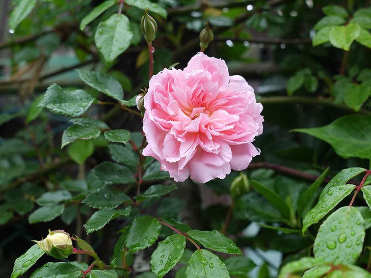 フランソワ・ジュランヴィル(ツルバラ)が咲いた。2017年-12.jpg