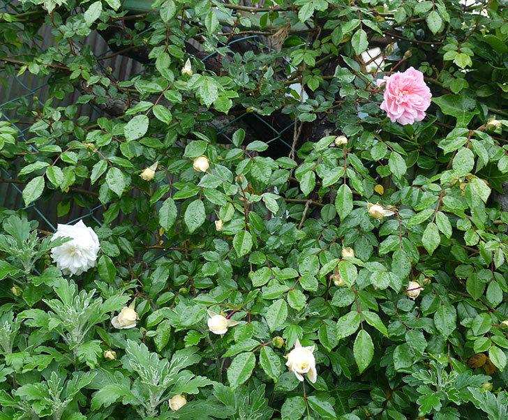 フランソワ・ジュランヴィル(ツルバラ)が咲いた。2017年-13.jpg