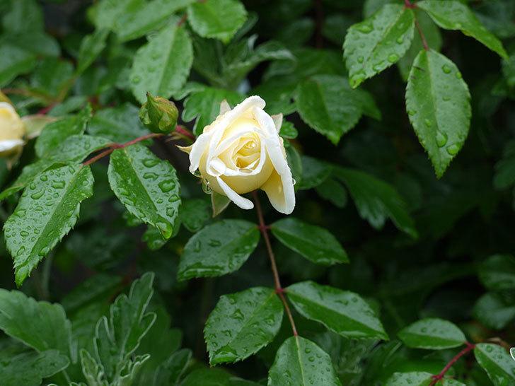 フランソワ・ジュランヴィル(ツルバラ)が咲いた。2017年-14.jpg