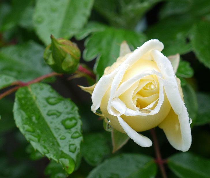 フランソワ・ジュランヴィル(ツルバラ)が咲いた。2017年-15.jpg
