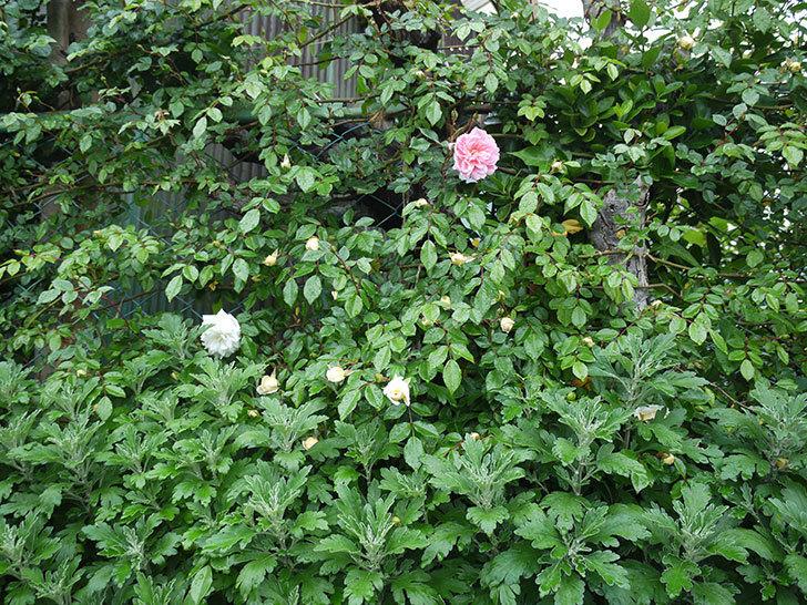 フランソワ・ジュランヴィル(ツルバラ)が咲いた。2017年-16.jpg