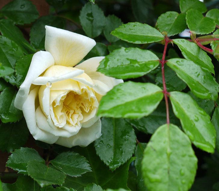 フランソワ・ジュランヴィル(ツルバラ)が咲いた。2017年-17.jpg