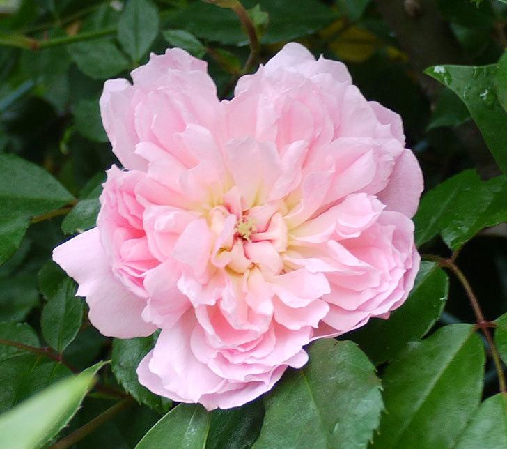 フランソワ・ジュランヴィル(ツルバラ)が咲いた。2017年-19.jpg