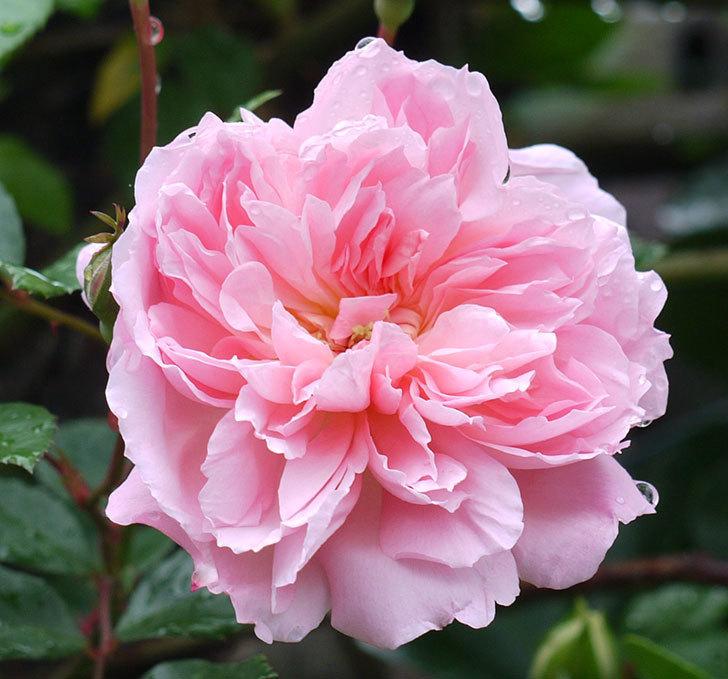 フランソワ・ジュランヴィル(ツルバラ)が咲いた。2017年-2.jpg