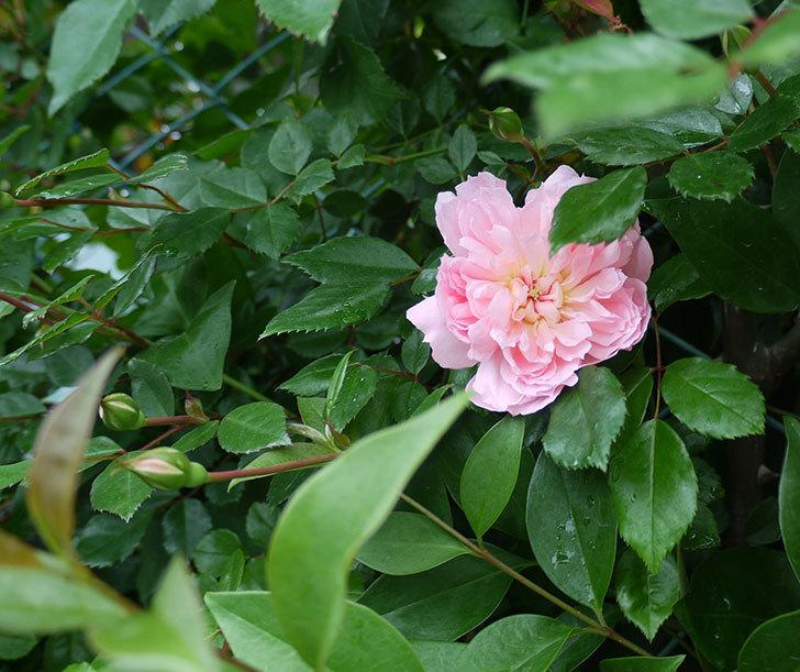フランソワ・ジュランヴィル(ツルバラ)が咲いた。2017年-20.jpg