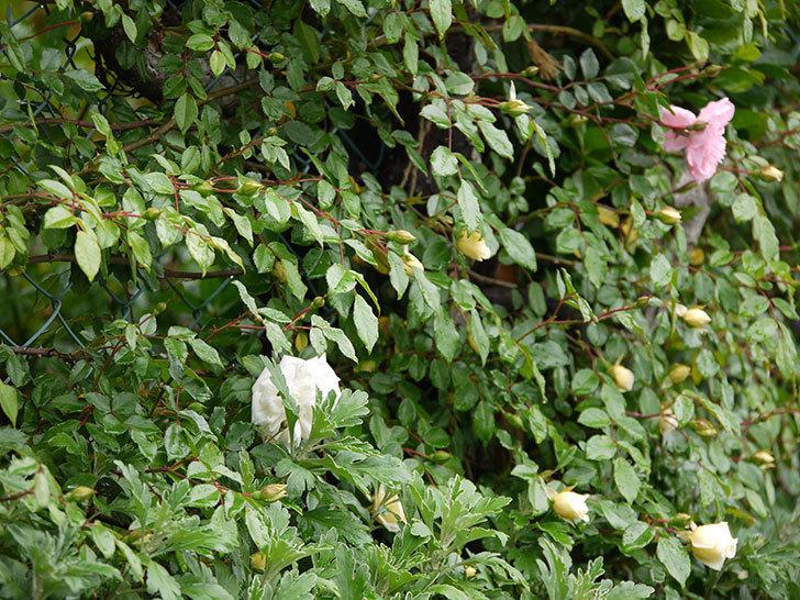 フランソワ・ジュランヴィル(ツルバラ)が咲いた。2017年-23.jpg