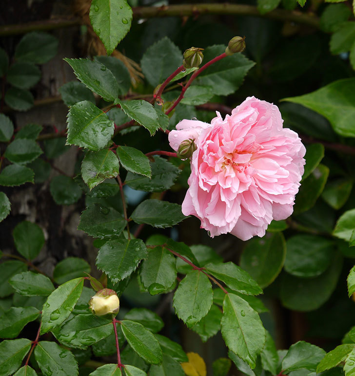 フランソワ・ジュランヴィル(ツルバラ)が咲いた。2017年-24.jpg