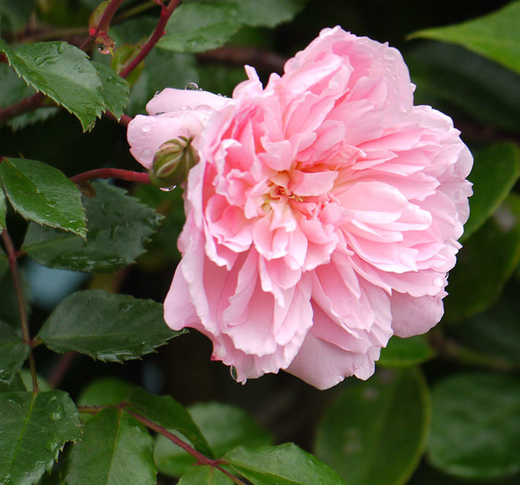 フランソワ・ジュランヴィル(ツルバラ)が咲いた。2017年-25.jpg