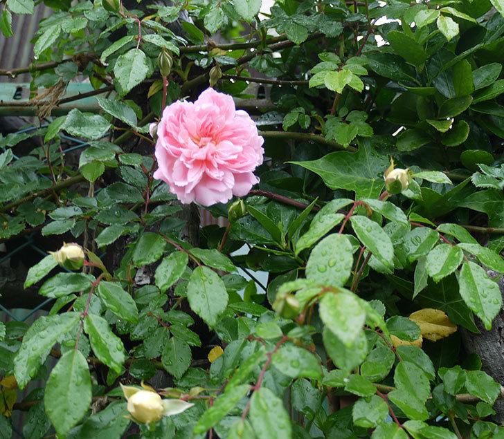 フランソワ・ジュランヴィル(ツルバラ)が咲いた。2017年-3.jpg